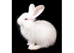 可爱小白兔