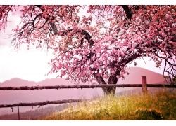 美丽樱花树