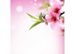 树枝上的桃花梦幻背景