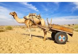 拉车的骆驼
