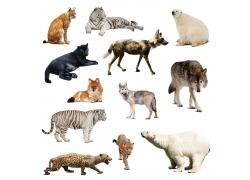野生食肉动物摄影图片