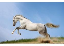 正在奔跑的白马