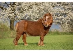 草原上的棕色野马