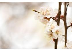 白色桃花背景