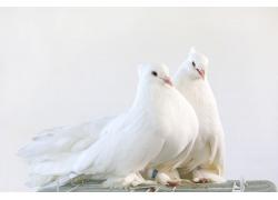 两只白色的鸽子