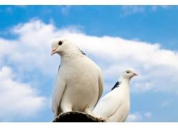 站在房檐上的两只鸽子
