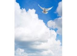 天空中飞翔的鸽子