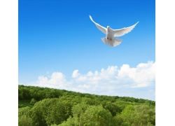 树林上空飞翔的鸽子