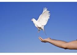 被放飞的鸽子