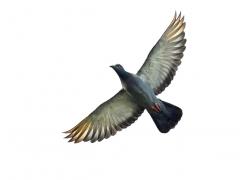 展翅飞翔的鸽子