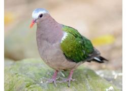 可爱的彩色鸽子