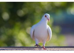 正在走路的鸽子