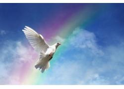 彩虹下的鸽子