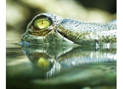 鳄鱼的眼睛
