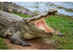 张开嘴巴的鳄鱼