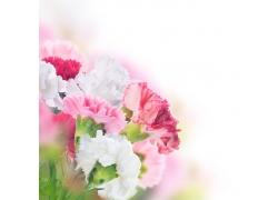 美丽的康乃馨花朵