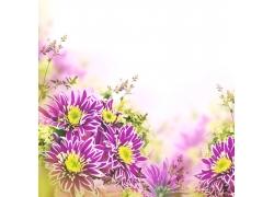 紫色的菊花