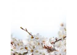 美丽的白色花朵