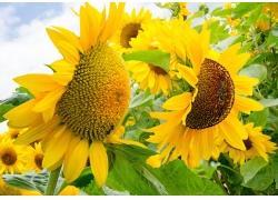 美丽的向日葵花