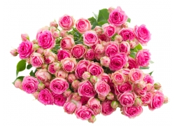 粉玫瑰摄影
