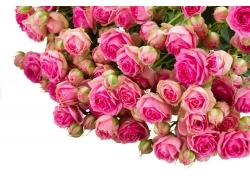 妖艳的粉玫瑰