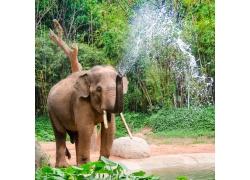 鼻子喷水的大象