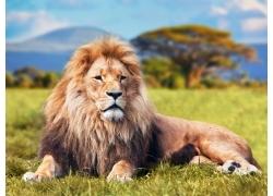 草地上的狮子