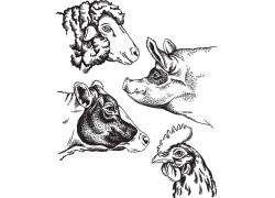 家畜动物插画图片